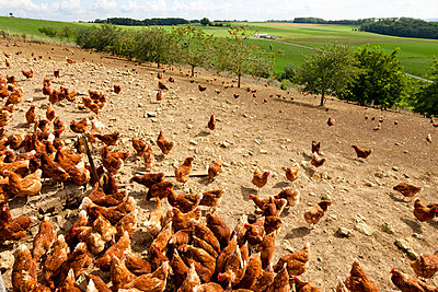 Chicken farm - p248m932966 by BY