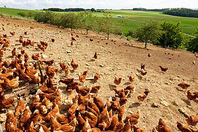 Hühnerfarm - p248m932966 von BY