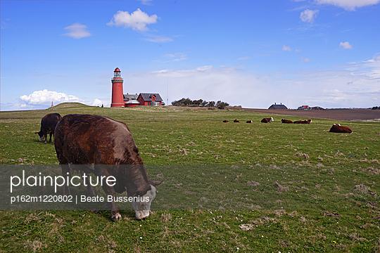 Cattle grazing near lighthouse Bovbjerg Fyr in Jutland - p162m1220802 by Beate Bussenius