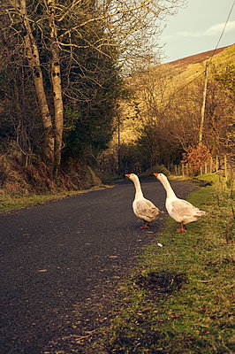 Gänse, Antrim, Moyle,  - p470m1425395 von Ingrid Michel