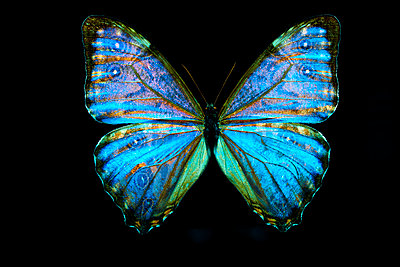 Blue butterfly - p587m2115447 by Spitta + Hellwig