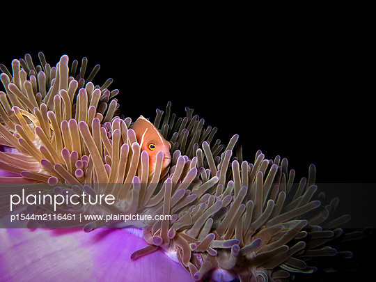 Anemone fish - p1544m2116461 by