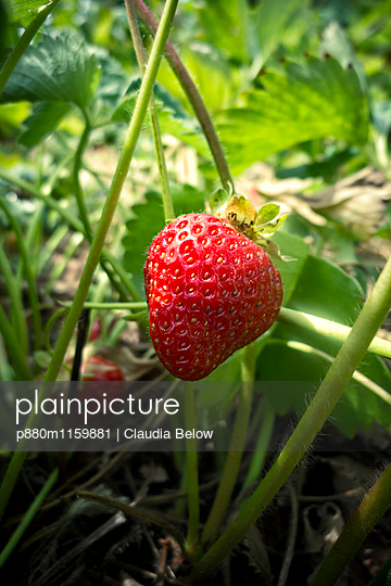 Reife Erdbeere - p880m1159881 von Claudia Below