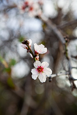 Almond Blossom La Palma - p1095m2072783 by nika