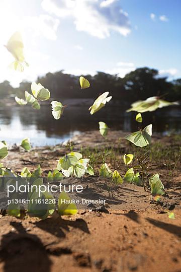 Schmetterlinge am Flussufer des Paraguacu, nahe der Hoehle Poco Azul, oestlich des Chapada Diamantina National Park, Andarai, Bahia, Brasilien - p1316m1161220 von Hauke Dressler