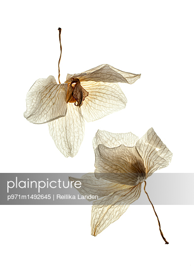 Wilted orchid flowers - p971m1492645 by Reilika Landen