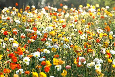 Poppy field - p307m974229f by Tetsuya Tanooka