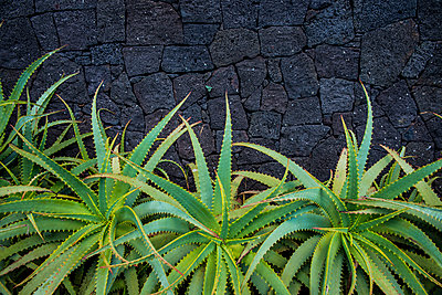 Aloe in front of a basalt rock wall; Lagoa, Sao Miguel, Azores, Portugal - p442m1180095 by Dosfotos