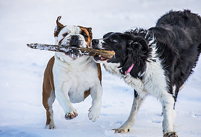 Dogs running while playing with a stick in the snow; Djupavik, West Fjords, Iceland - p442m2008878 by Robert Postma