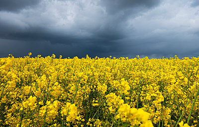 Dark clouds over rape field, Husum, Schleswig-Holstein, Germany - p300m2103476 by Hans Lippert