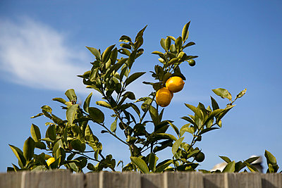 A lemon tree growing behind a fence - p30119658f by Tobias Titz