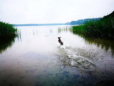 Hund spielt am See - p551m1582910 von Kai Peters
