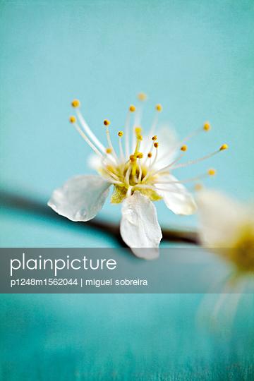 plainpicture - plainpicture p1248m1562044 - Small White Blossom - plainpicture/miguel sobreira