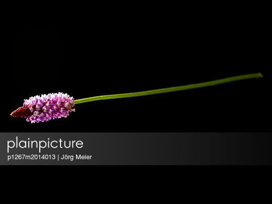 Rosa Blume - p1267m2014013 von Wolf Meier