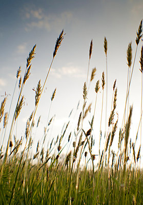 Tall grass seed heads against the sky - p1072m828841 by Brian Korteling