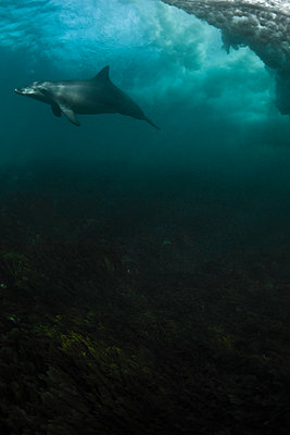 dolphin, water, underwater, reef, blue - p416m784797 by Andy Fox