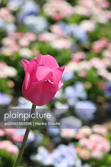 Pink Tulip in a sea ​​of ​​flowers - p450m1563396 by Hanka Steidle