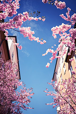 Blossoming branches against blue sky - p312m1187677 by Dan Lepp