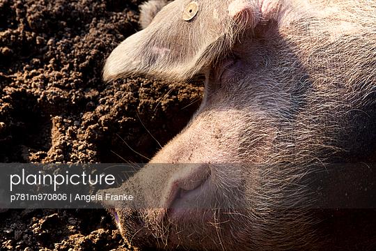 Schwein schläft - p781m970806 von Angela Franke