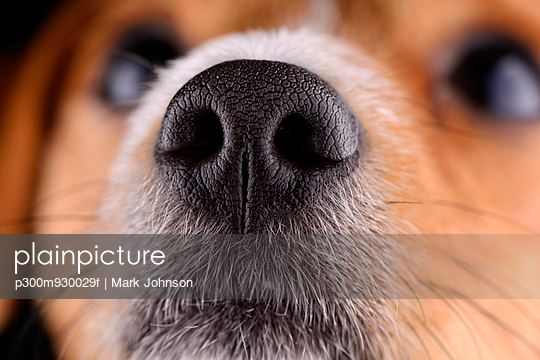 Nose of Jack Russel Terrier - p300m930029f by Mark Johnson