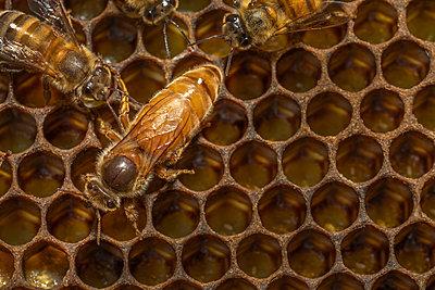 Queen Bee, Honey bee hive, Barwick, Georgia - p1166m2290054 by Cavan Images