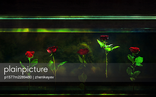Red roses floating in the aquarium with one rose higher than the rest - p1577m2289480 by zhenikeyev