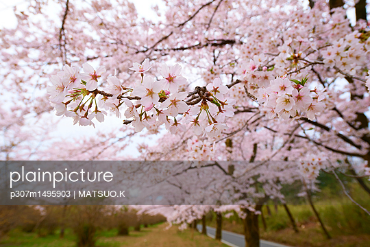 Cherry blossoms in full bloom - p307m1495903 by MATSUO.K
