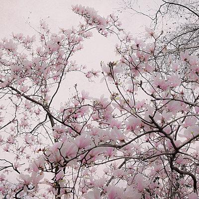 Magnolia blossom - p1240m2063317 by Adeline Spengler