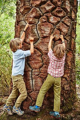 Chile, Puren, Nahuelbuta National Park, two boys climbing at an old Araucaria tree - p300m2070649 by Stefan Schütz