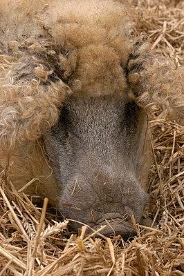 Blondes Mangalitza Wollschwein - p1099m882658 von Sabine Vielmo