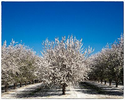 Almond Trees in Bloom - p1154m1057826 by Tom Hogan