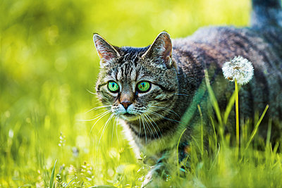 Hunting cat - p1418m2281032 by Jan Håkan Dahlström