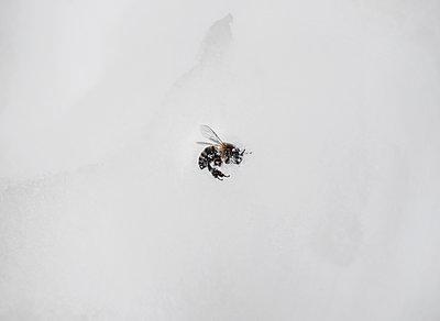 Tote Biene - p1649m2253063 von jankonitzki