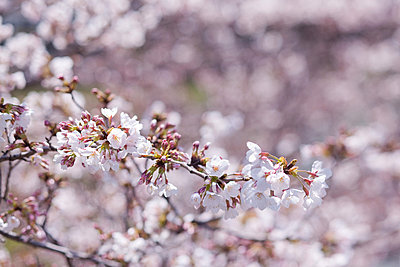 Cherry blossoms and buds - p307m713531f by Gajin