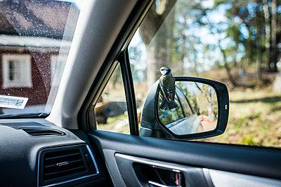 Bird perching on side mirror - p312m2050630 by Fredrik Schlyter