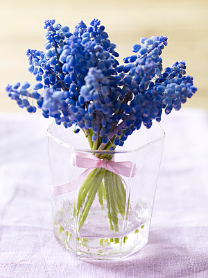 Blue Hyacinth tied with ribbon in glass - p349m2167665 by Polly Wreford