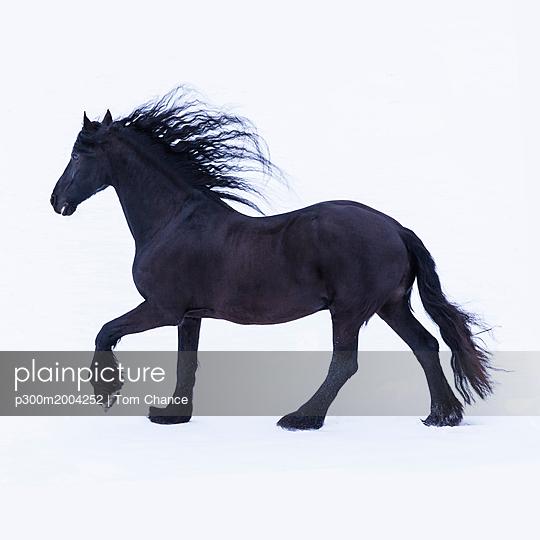 Frisian horse in winter - p300m2004252 von Tom Chance