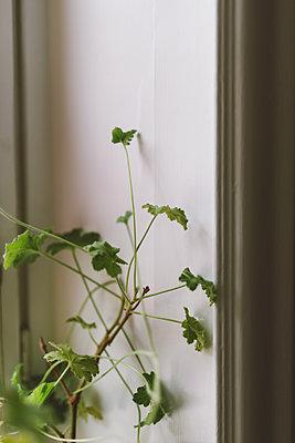 Geranie am Fenster - p1507m2065336 von Emma Grann