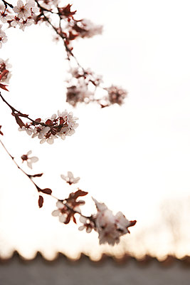 Blossoms of a cherrytree - p533m2015609 by Böhm Monika