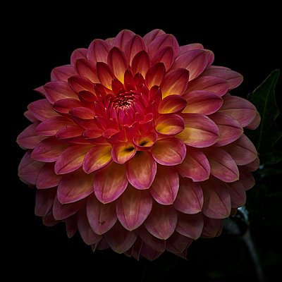 Dahlia blossom in pink and yellow shades - p587m2115471 by Spitta + Hellwig