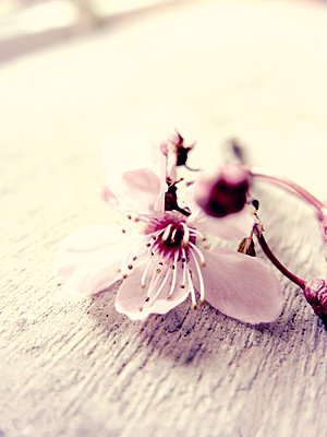 Delicate pink blossom - p879m1134940 by nico