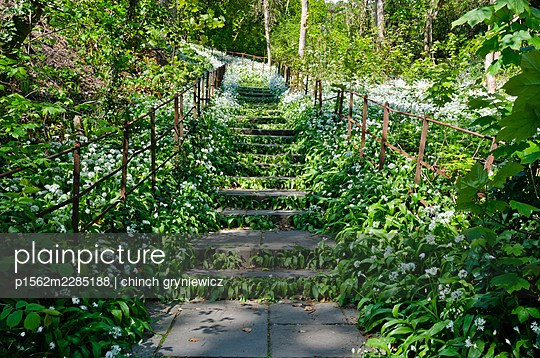 Stone Steps Overgrown with Wild Garlic in Spring - p1562m2285188 by chinch gryniewicz