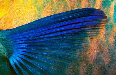 Papageienfisch Flosse - parrotfi - p3003502f by Gerald Nowak