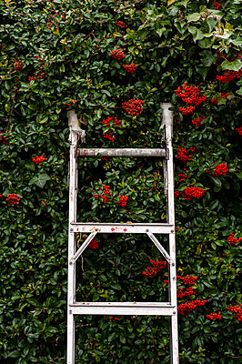 Abandoned ladder leaning against hedge - p1047m2039093 by Sally Mundy