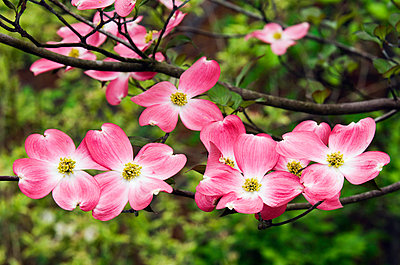 Pink Flowers On A Dogwood Tree - p44211244f by Robert Cable