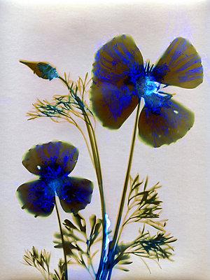 Gepresste Blume - p945m2278194 von aurelia frey