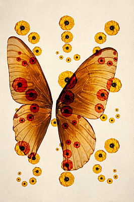 Computer generated abstract pattern of yellow persian buttercup flowers overlaid on light brown monarch butterfly wings against cream background - p1047m2288951 by Sally Mundy