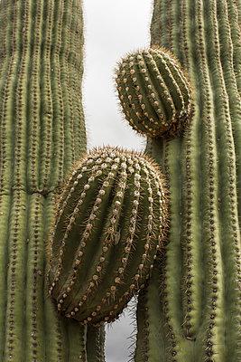 Saguaro Cactus - p1291m1548073 by Marcus Bastel