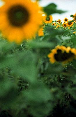 Feld mit Sonnenblumen - p4470013 von Anja Lubitz
