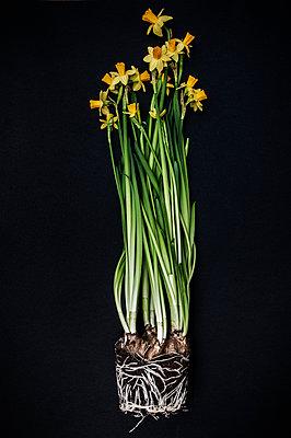 Daffodil - p971m1550467 by Reilika Landen